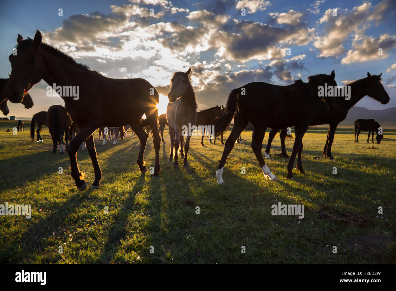 Kirguistán - caballos por el atardecer en el lago Song Kol Foto de stock