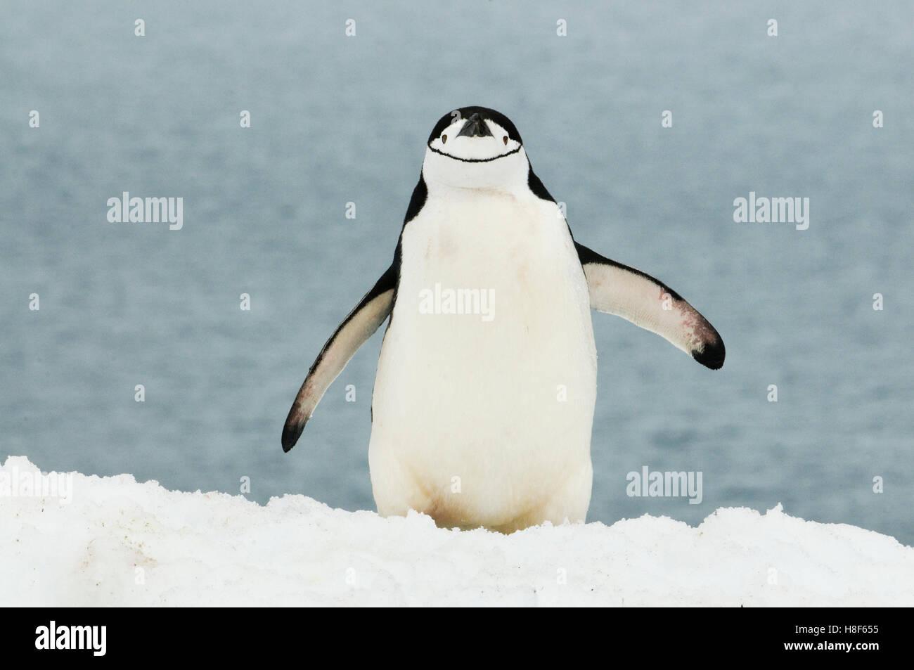 Pingüinos de barbijo (Pygoscelis antarctica) en la Península Antártica, en la Antártida Imagen De Stock