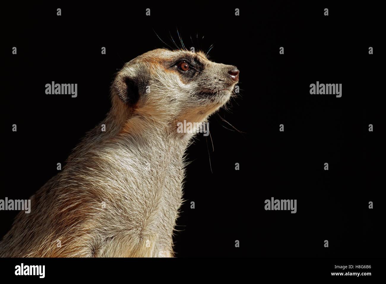 Retrato de una alerta (Suricata suricatta suricata o) en negro, Sudáfrica Imagen De Stock