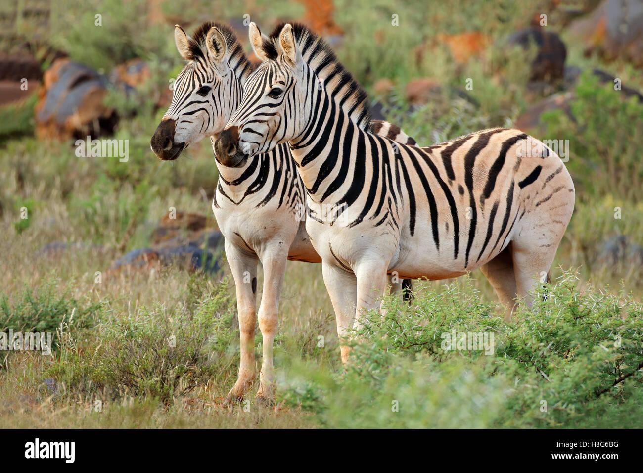 Dos llanuras (Burchells) las cebras (Equus burchelli) en su hábitat natural, Sudáfrica Imagen De Stock