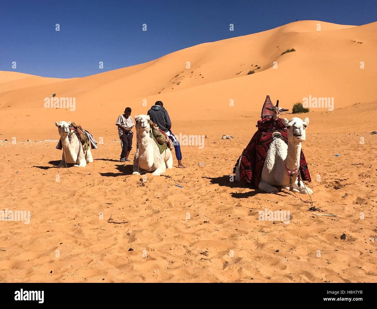 Paseos en camello al desierto Taghit, Bechar, Argelia Imagen De Stock