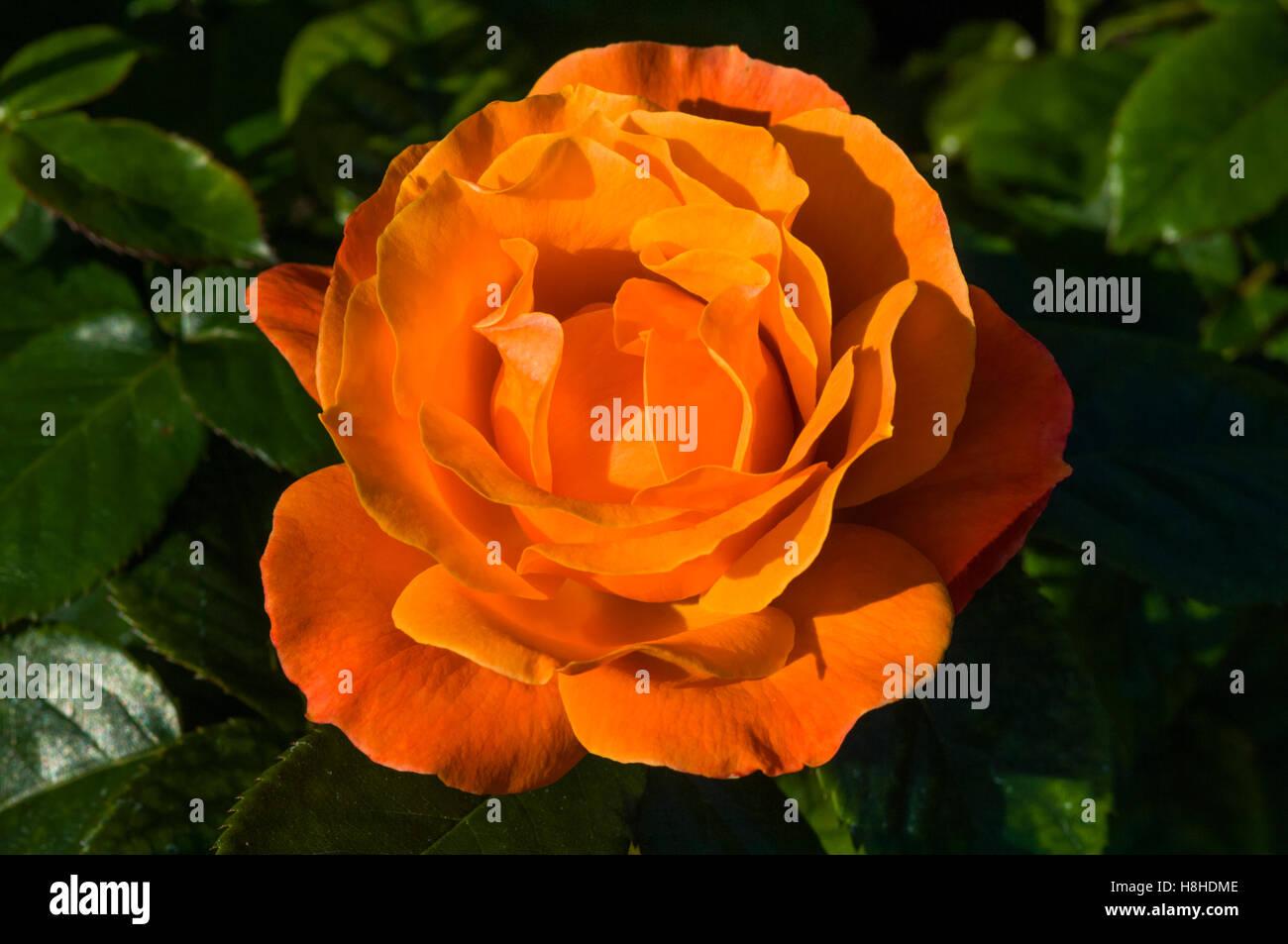 """Rosa """"beca"""". Floribunda rose. En el Reino Unido. Imagen De Stock"""