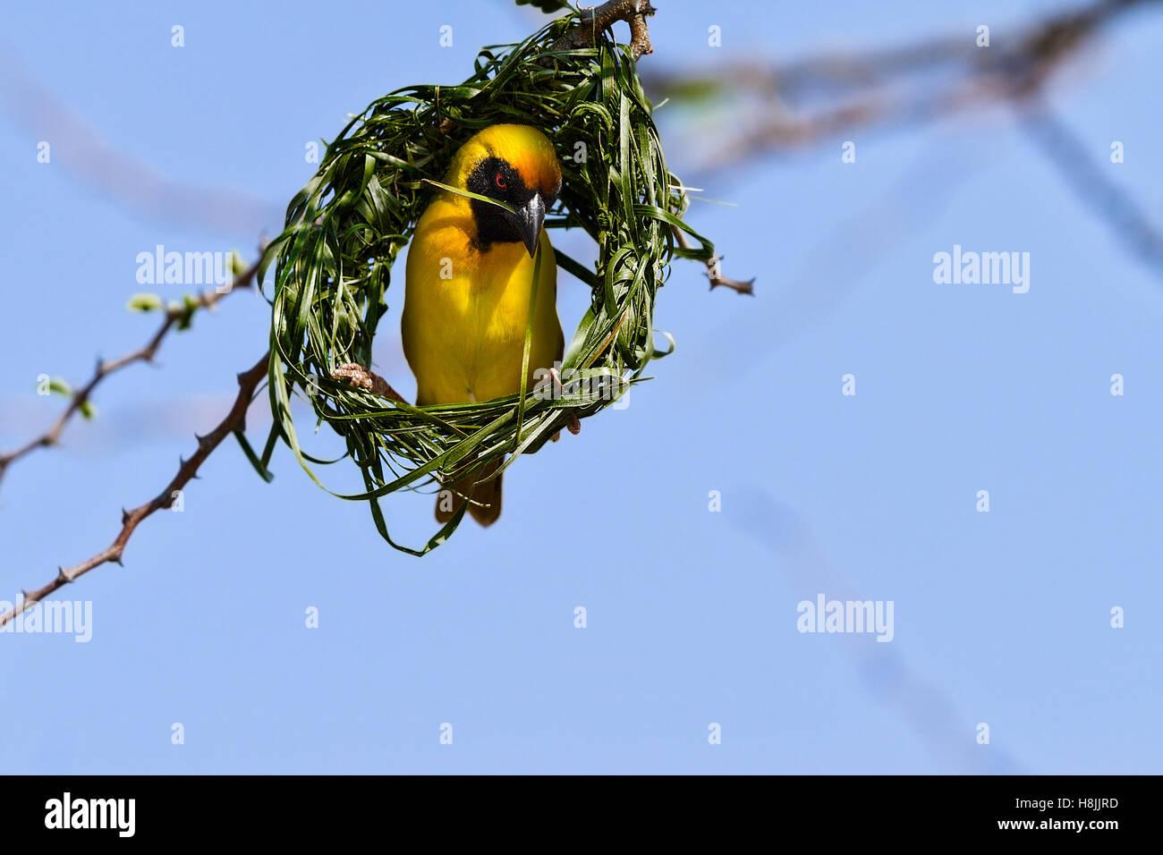 Sur tejedor enmascarado (Ploceus velatus) la construcción del nido, Botswana Imagen De Stock