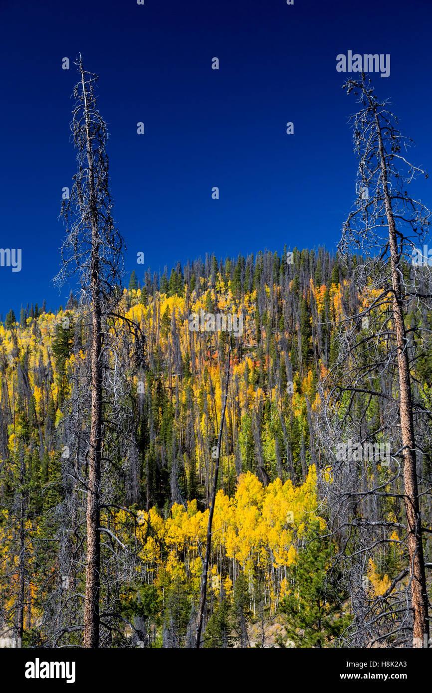 Tabernash, Colorado - Colores de otoño en las Montañas Rocosas en medio de los árboles muertos por el escarabajo de pino de montaña. Foto de stock