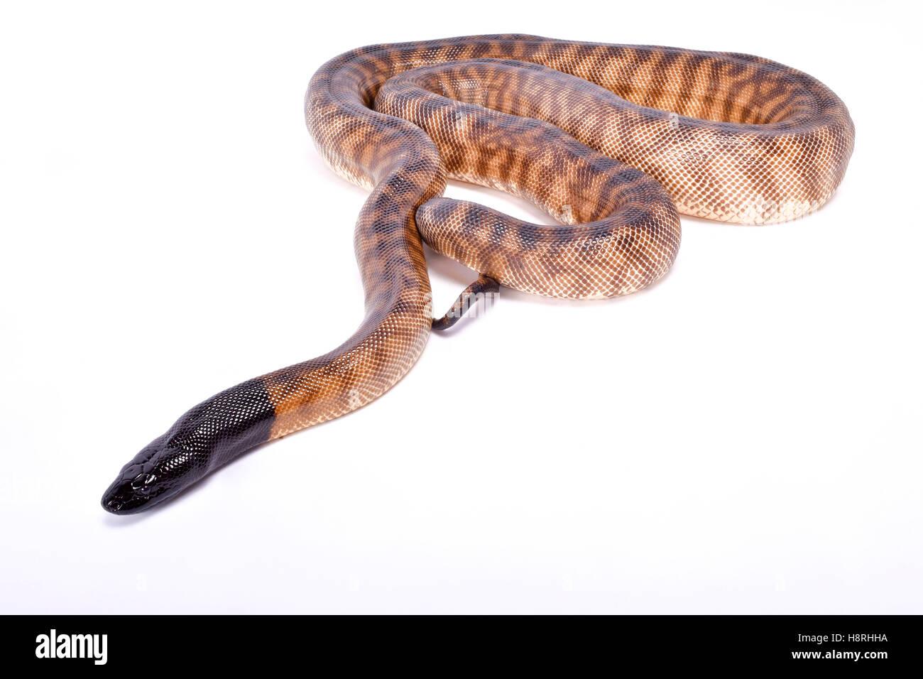 Cabeza negra, python Aspidites melanocephalus Imagen De Stock