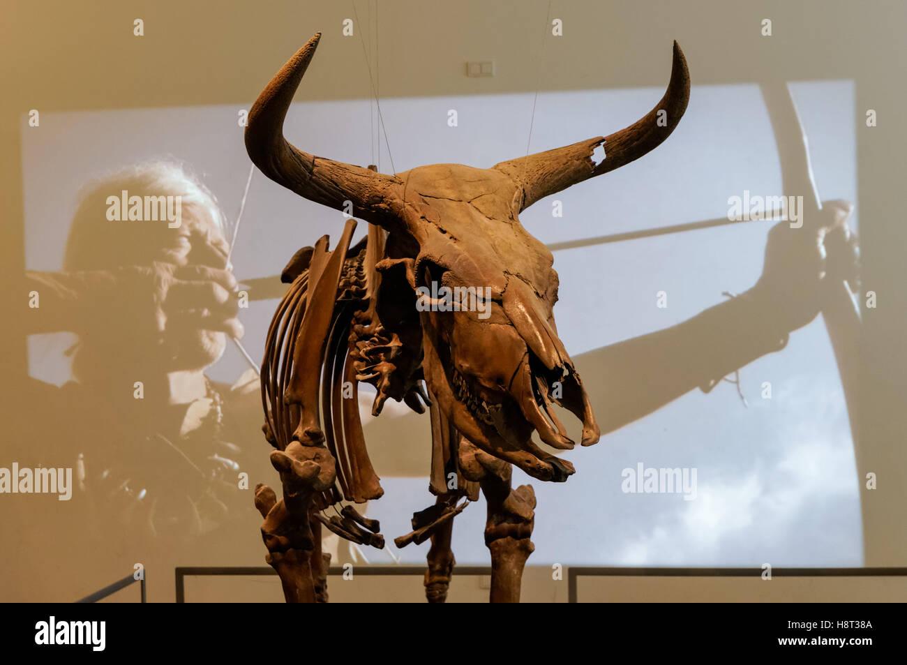 Exposición de un aurochs esqueleto encontrado en una turbera en el oeste de Zelanda, 8600BC, el Museo Nacional de Dinamarca en Copenhague, Dinamarca Foto de stock