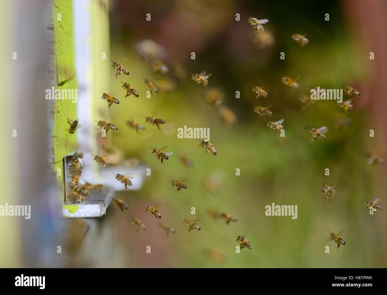 Las abejas (Apis mellifera), la atmósfera en la entrada de la colmena en buenas condiciones climáticas, Imagen De Stock
