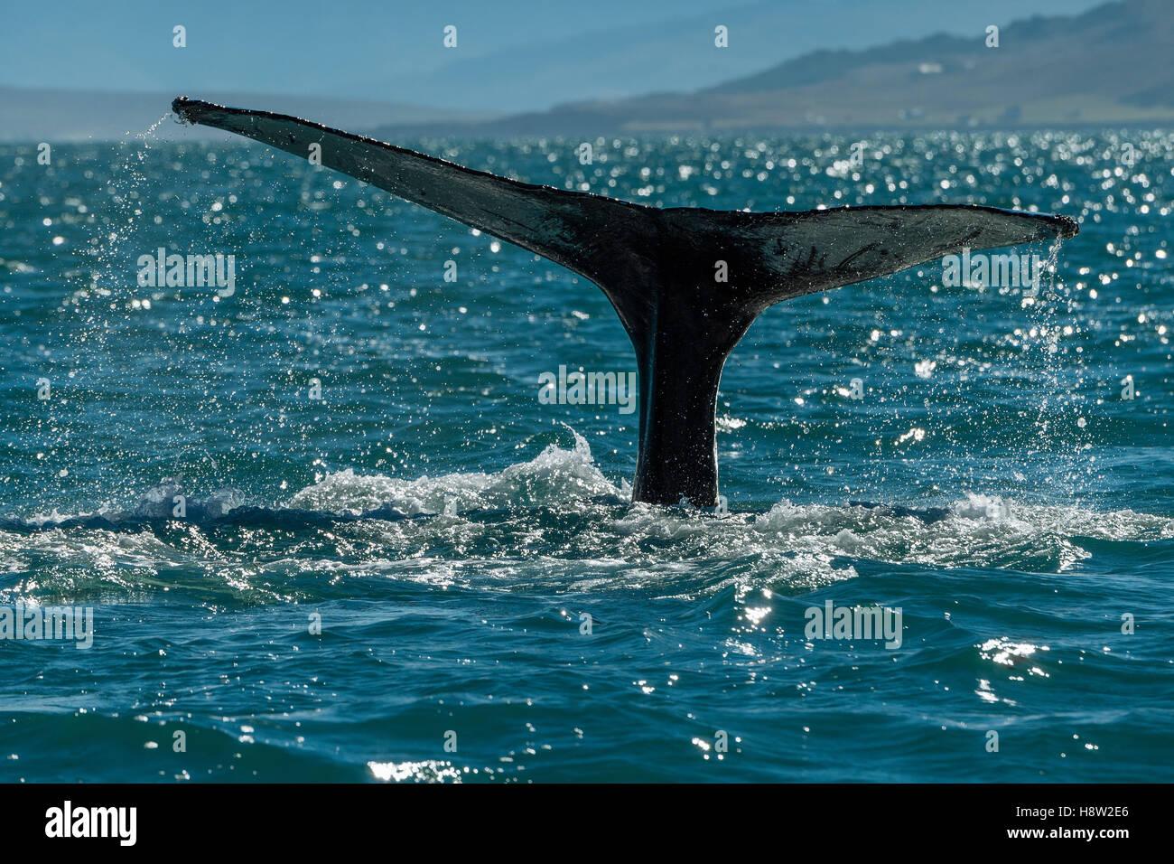 Cola, trematodos, buceo ballena jorobada (Megaptera novaeangliae), Eyjafjörður, Islandia Foto de stock