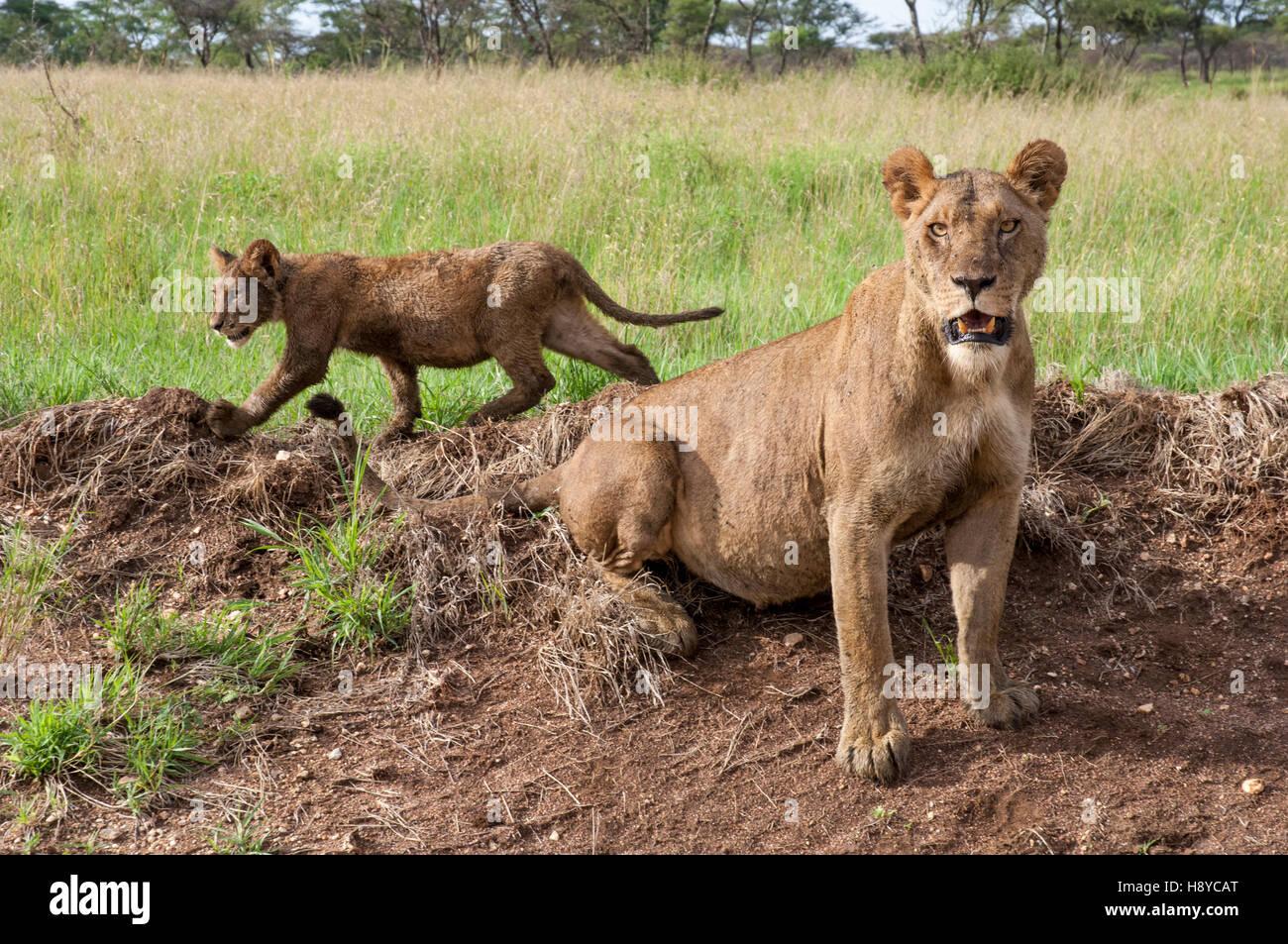 Leona con cubs (Panthera leo) y protuberante barriga después de comer en un kill, Parque Nacional del Serengeti, Tanzania Foto de stock