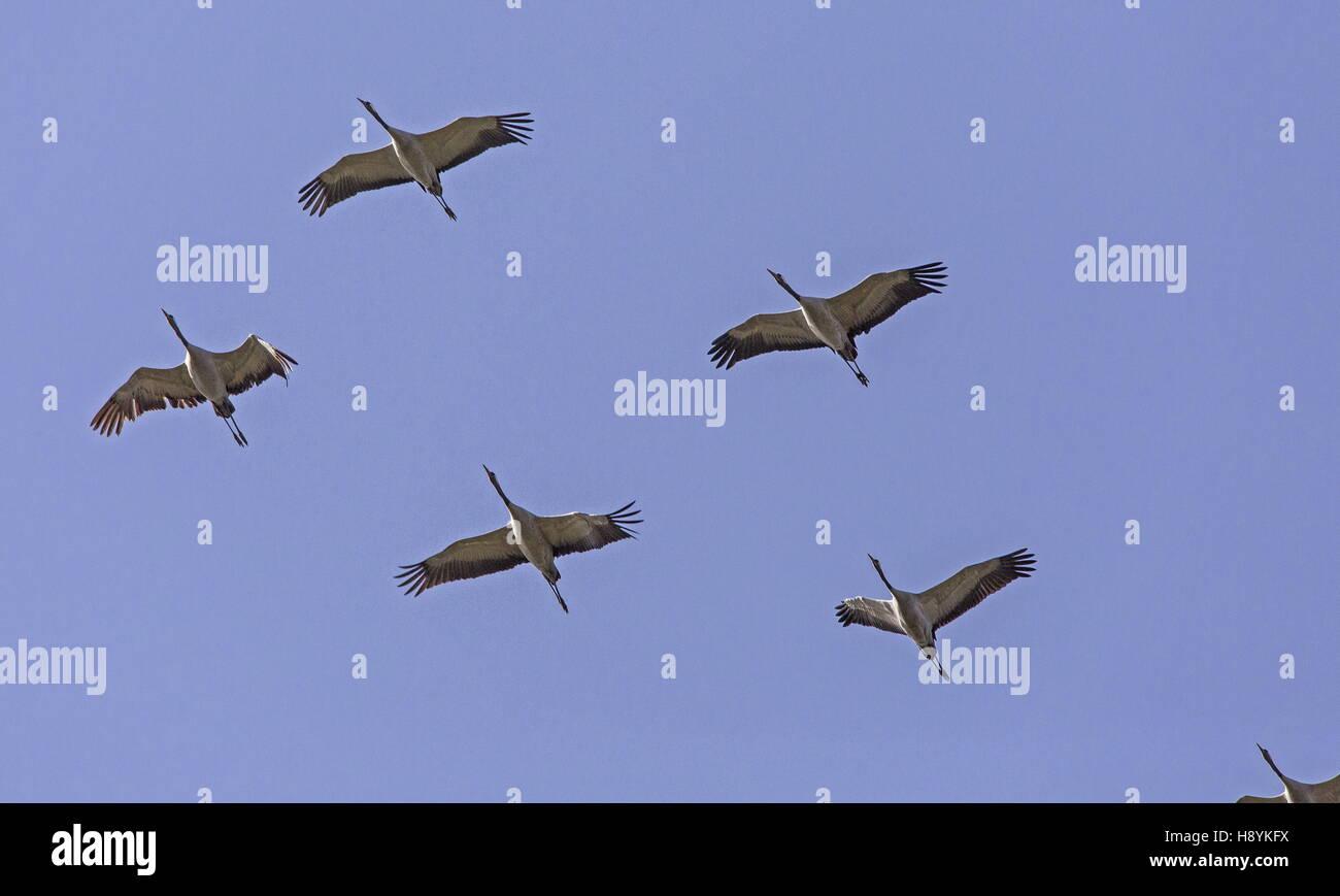 Bandada de grullas comunes, Grus grus, en vuelo al inicio de la migración primaveral hacia el norte. SW de España. Foto de stock