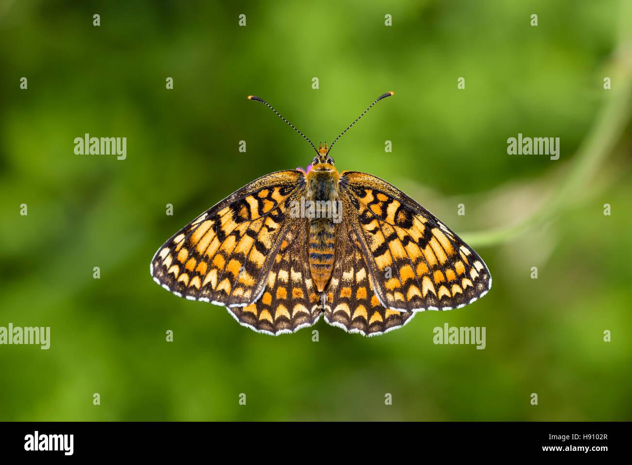 Flockenblumen Scheckenfalter, Melitaea phoebe, Mala Hierba Speyeria Butterfly Imagen De Stock