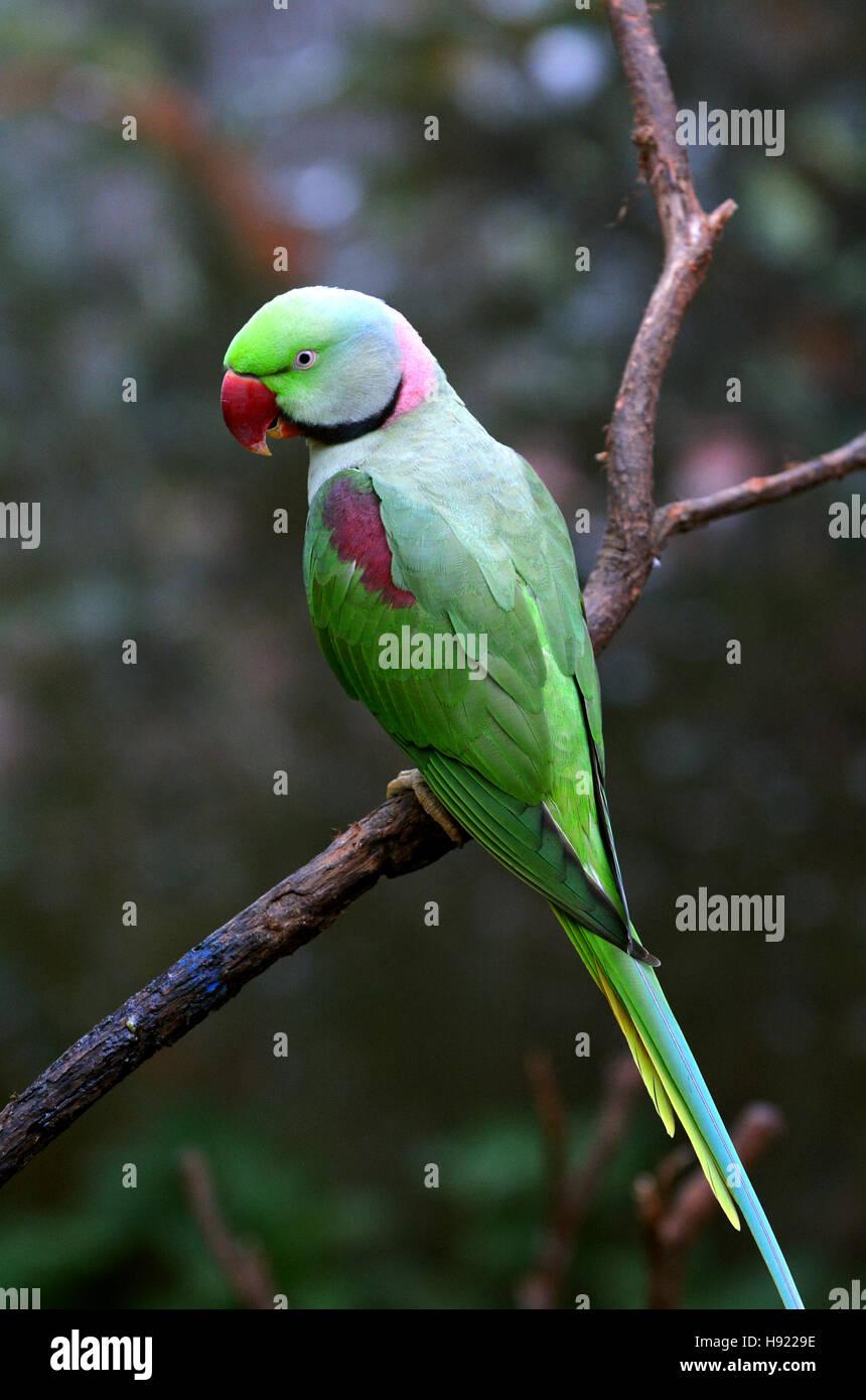 Alexandrine Parrot (Psittacula eupatria) originaria de la India y el Sudeste de Asia. Imagen De Stock