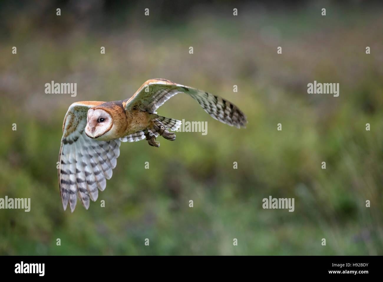 Lechuza estático y en vuelo Raptor canadiense Conservancy Imagen De Stock