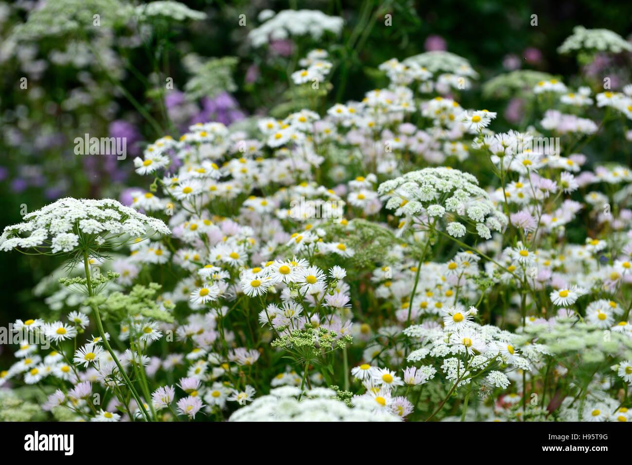Ammi Majus daisy margaritas flores flor floración blanca combinación mixta mezcla natural de flora y fauna silvestre jardín floral de RM Foto de stock