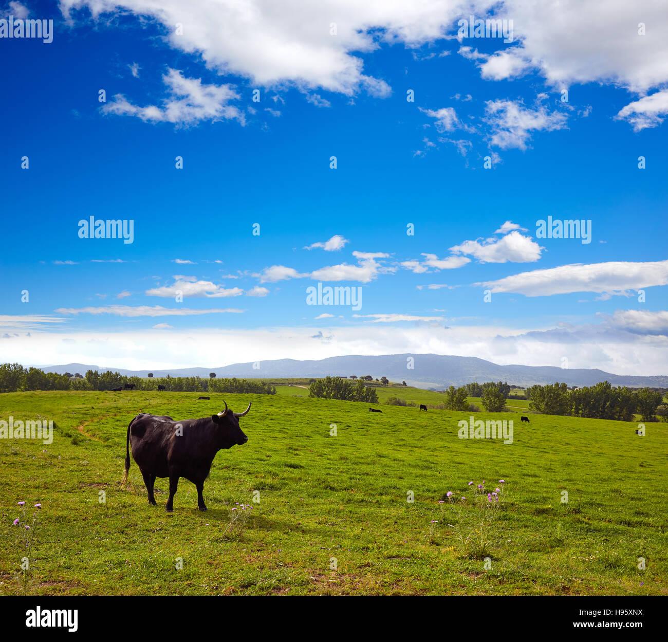 Toro Bravo Dehesa de Extremadura pastoreo en los pastizales a lo largo de Via de la Plata Camino de España Foto de stock
