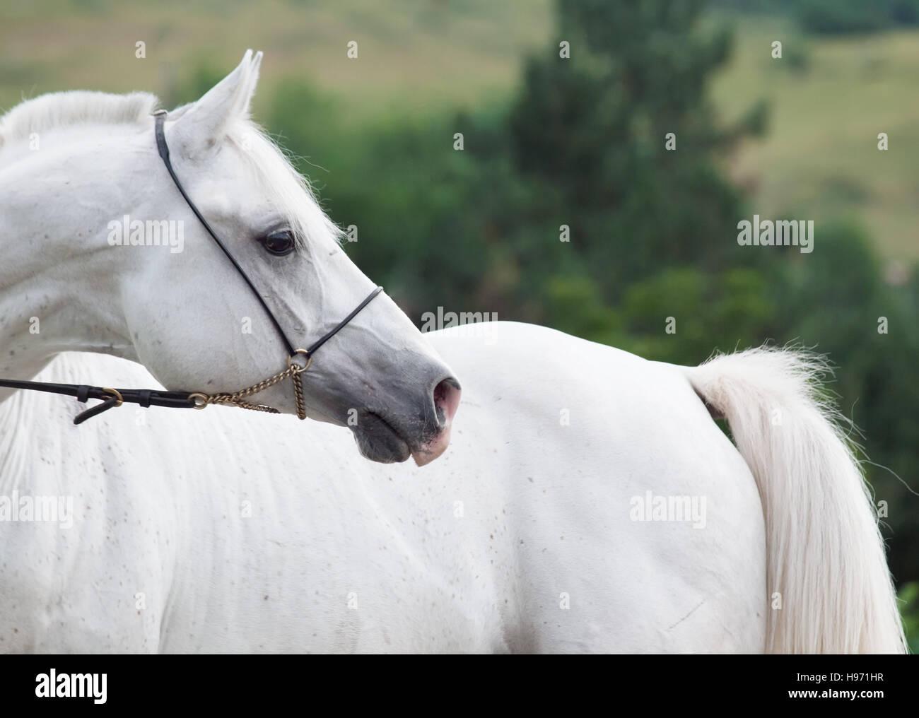 Retrato de arabian stallion blanco en fondo de montaña Imagen De Stock