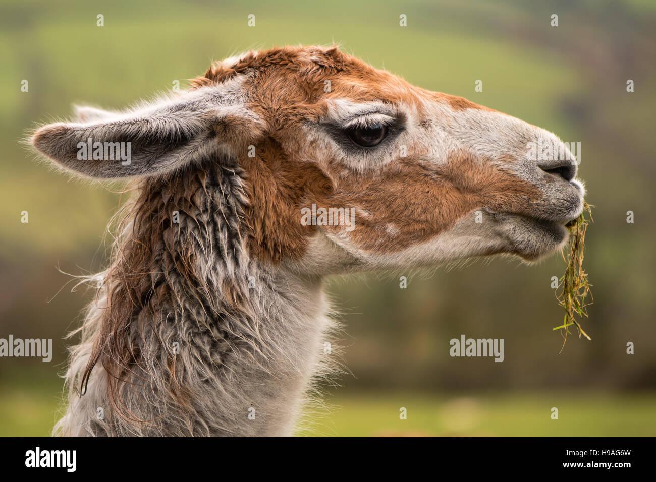 Cabeza de llama con hierba colgando de la boca. Marrón y blanco de camélidos en el perfil de masticar Imagen De Stock