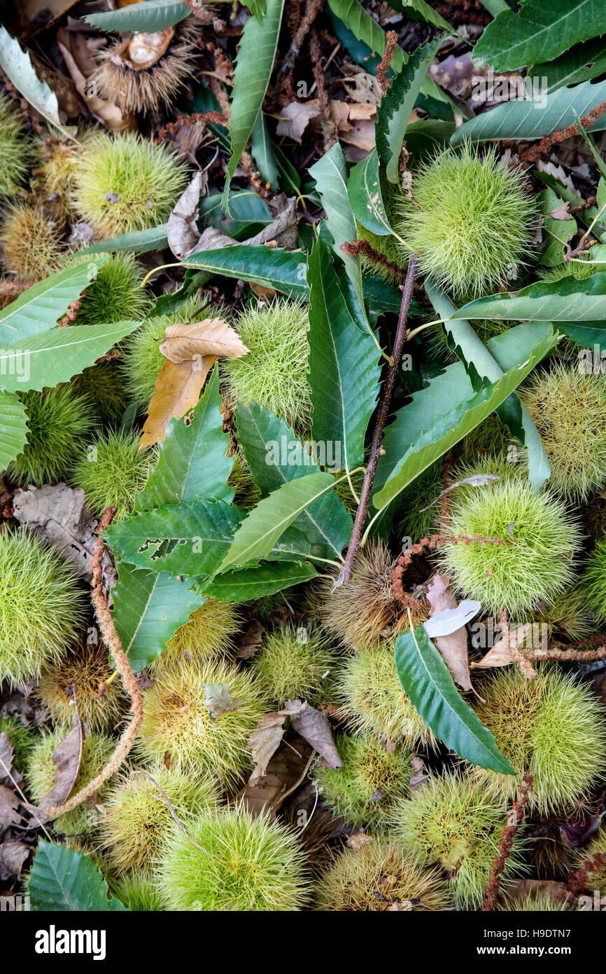 Las castañas en el suelo en Andalucía, España Foto de stock