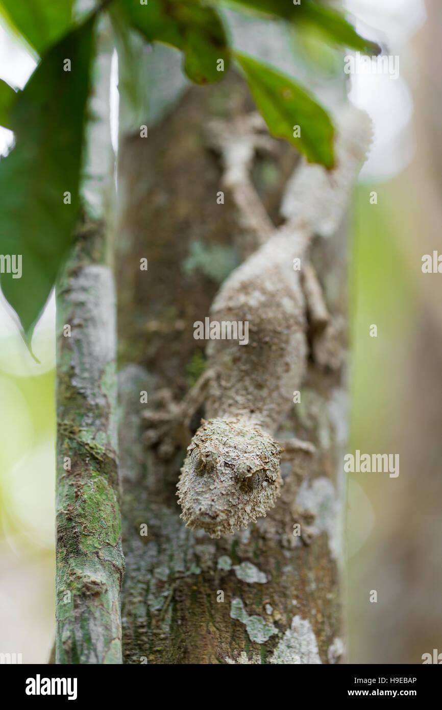 Perfectamente enmascarada mossy leaf-tailed gecko, Uroplatus sikorae, especie de gecko con la habilidad de cambiar Imagen De Stock