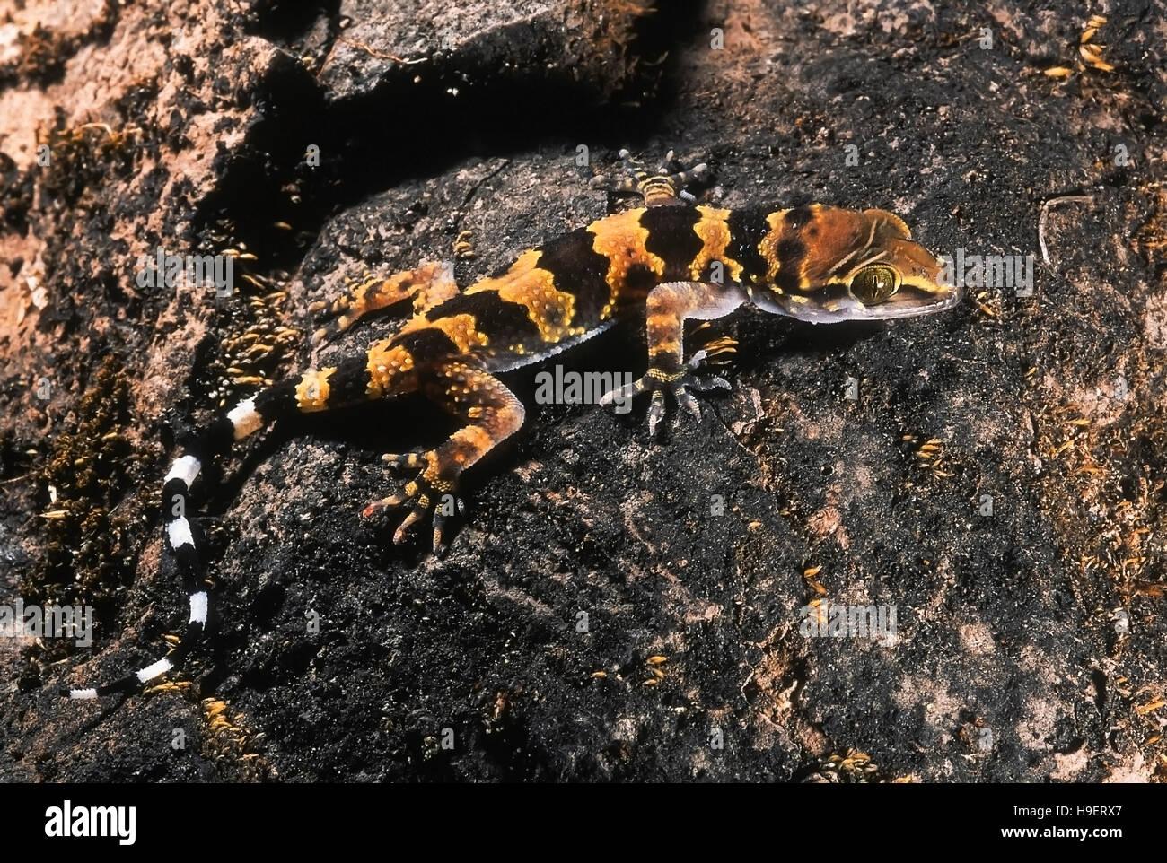 Bandas de Rock lagartija Hemidactylus maculatus. Los menores. Fotografiado en Sinhagad Fort, cerca de Pune, Maharashtra, Imagen De Stock