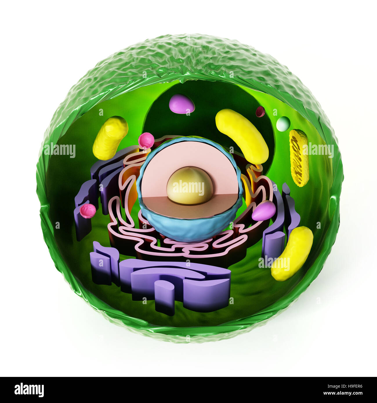 Anatomía de la célula animal aislado sobre fondo blanco. Ilustración 3D. Foto de stock