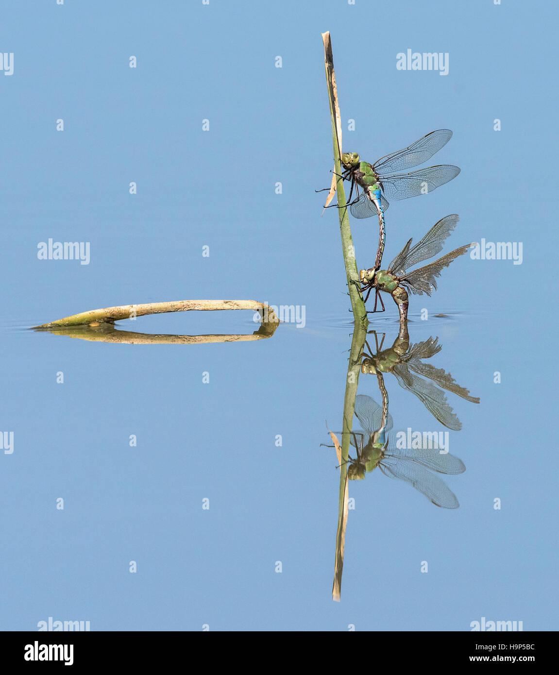 Libélulas de apareamiento con reflexión Imagen De Stock