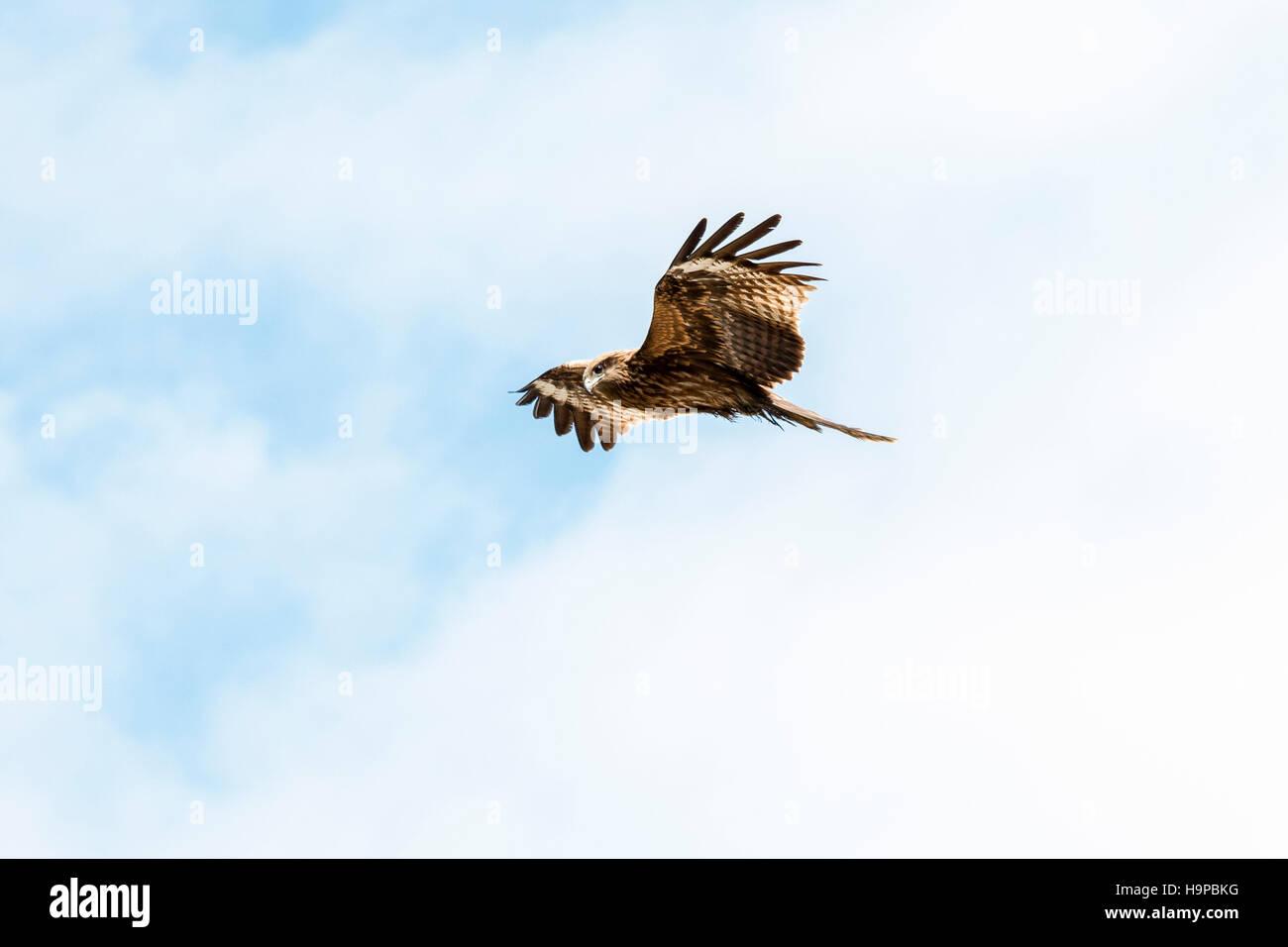 Japón Akashi. Ave de rapiña. Milano negro, negro kite orejudo (Milvus migrans lineatus), en vuelo por encima de Foto de stock