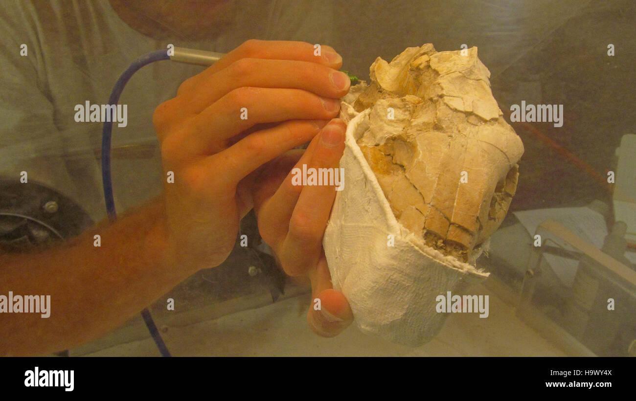 7666226180 badlandsnationalpark Danny trabajando en Oreodont Cráneo fósil 4 Foto de stock