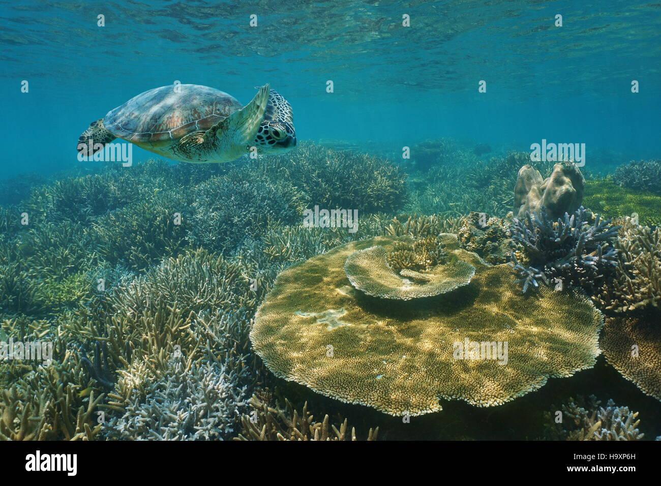Una tortuga de mar verde de natación subacuática a lo largo de un arrecife de coral saludable en aguas poco profundas, Nueva Caledonia, Océano Pacífico del sur Foto de stock