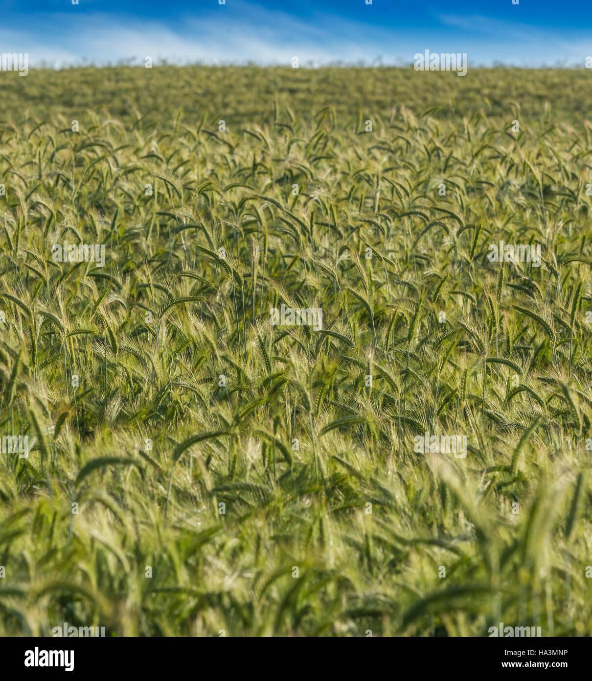 Las plantaciones de trigo Imagen De Stock