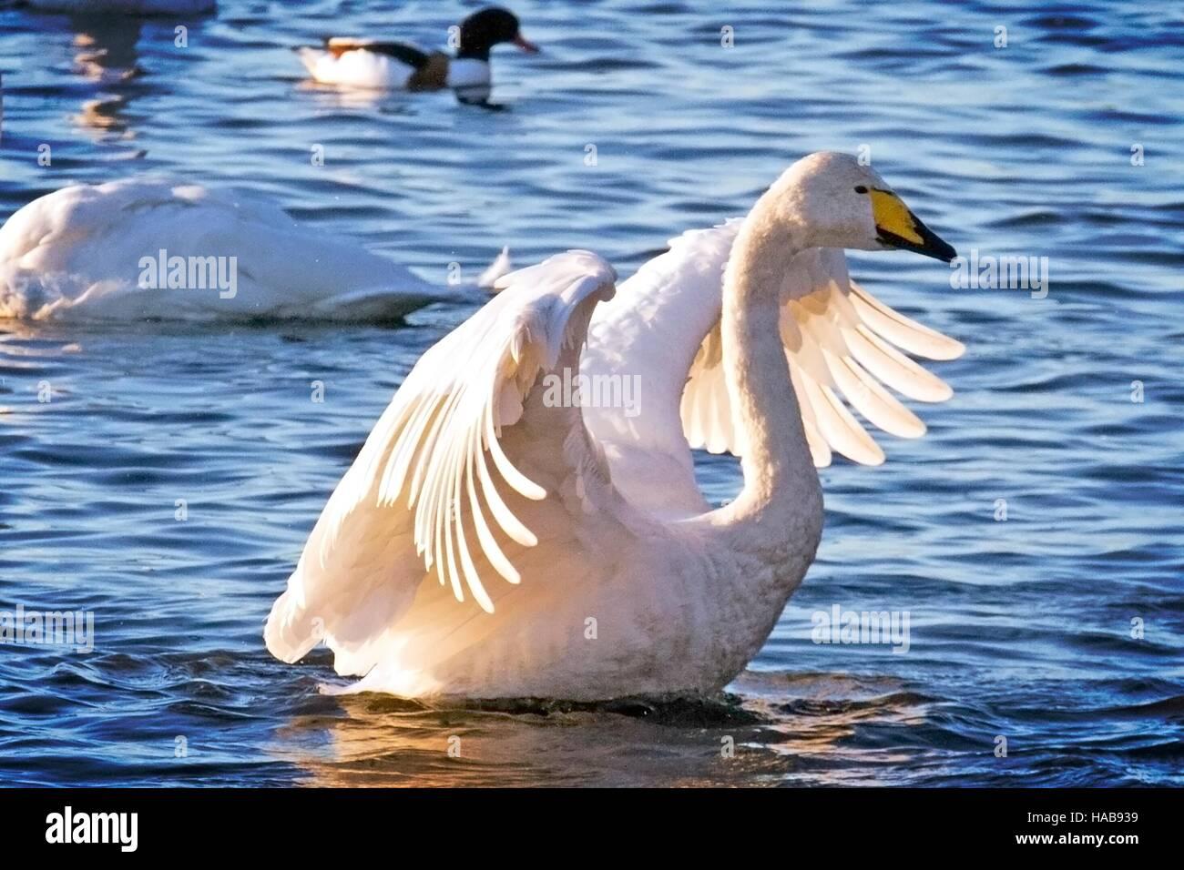 Cisnes cantores, Burscough, Lancashire. 28/11/2016: Cuando el verano da paso al otoño, casi toda la población de Foto de stock