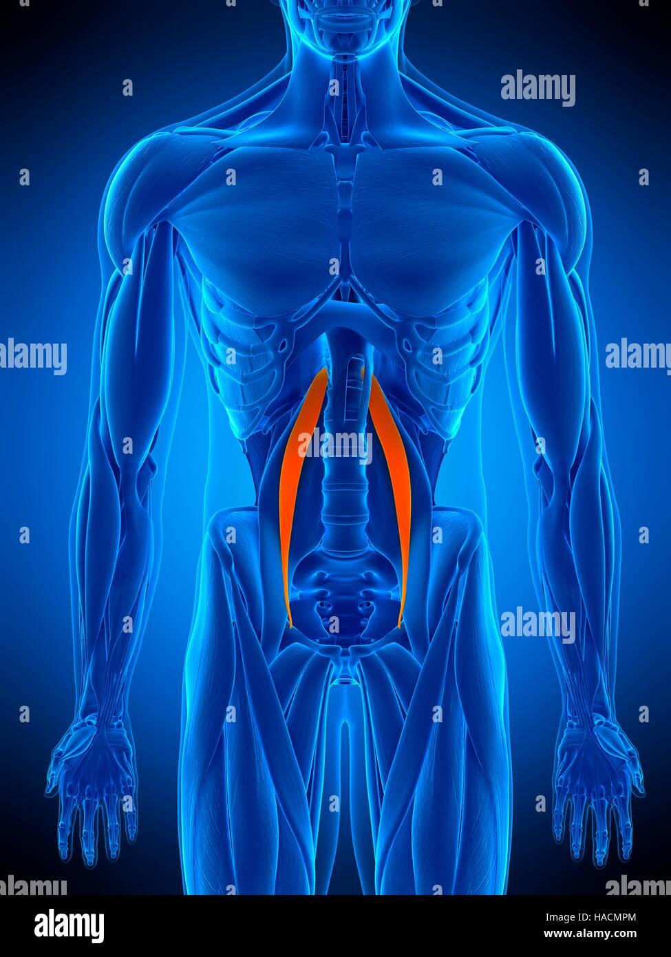 Ilustración del músculo psoas menor Foto & Imagen De Stock ...