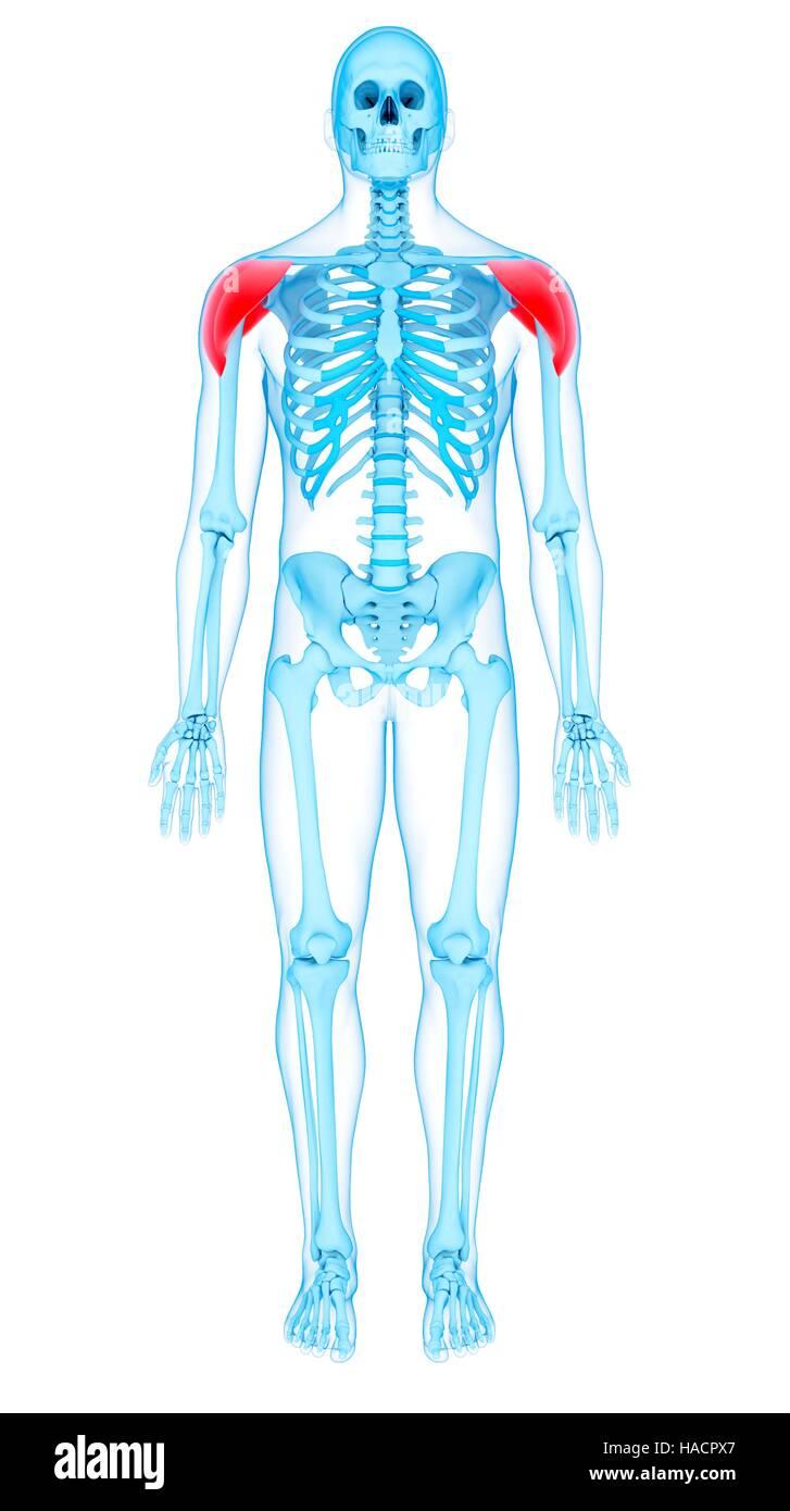 Human Deltoid Muscles Illustration Imágenes De Stock & Human Deltoid ...