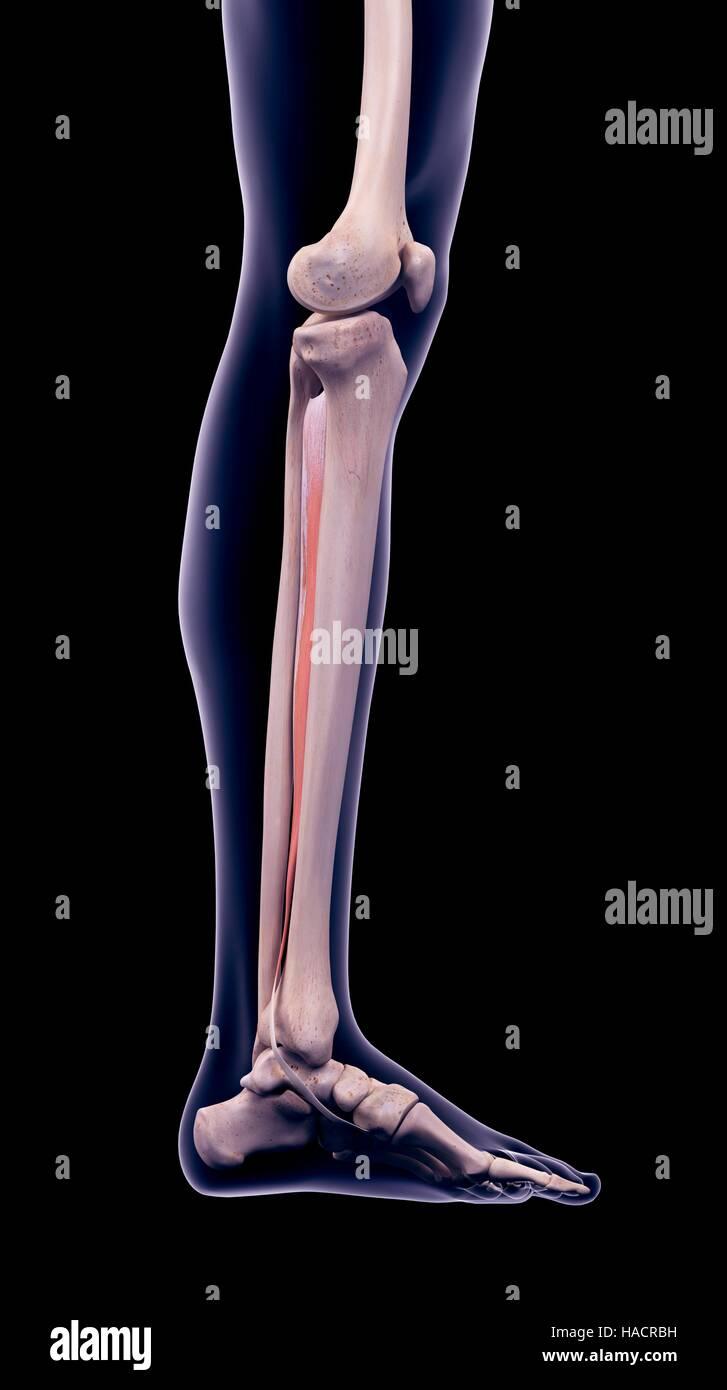 Ilustración Del Músculo Tibial Posterior Foto Imagen De Stock