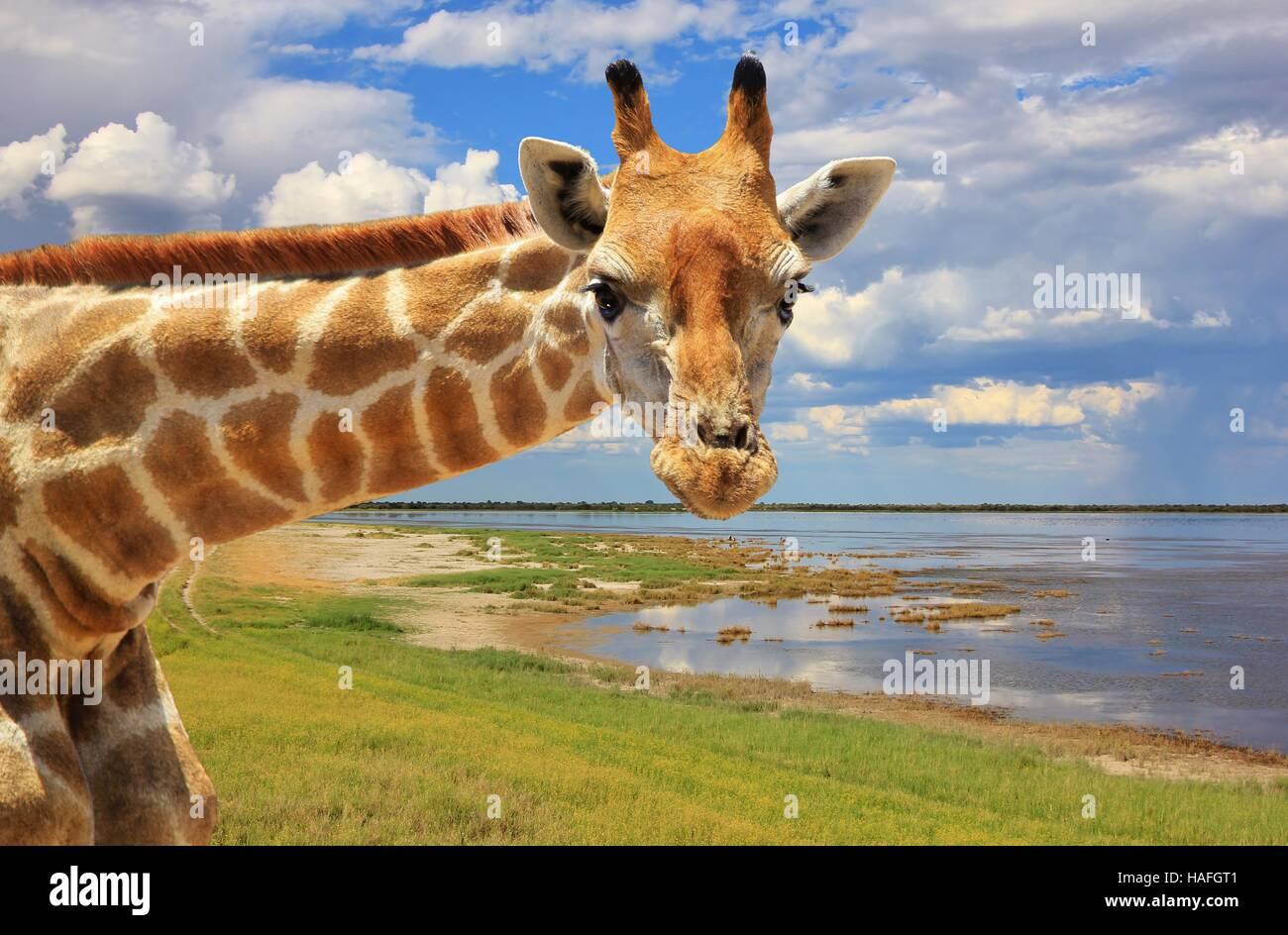 Jirafa - fauna africana en la selva. Imagen De Stock