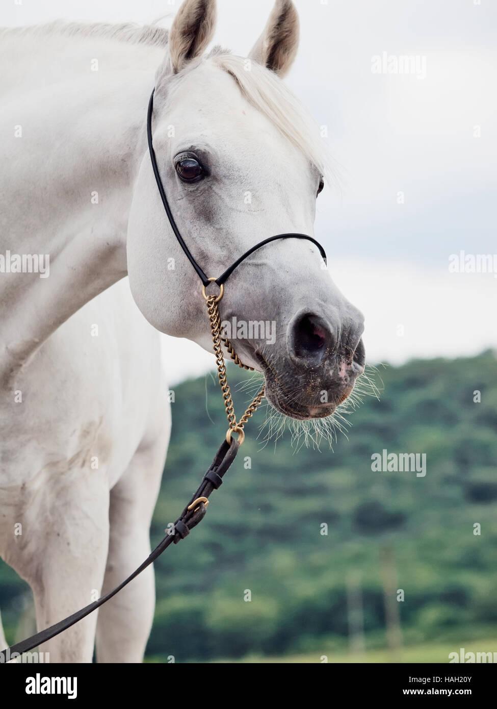 Retrato de semental árabe blanca Imagen De Stock