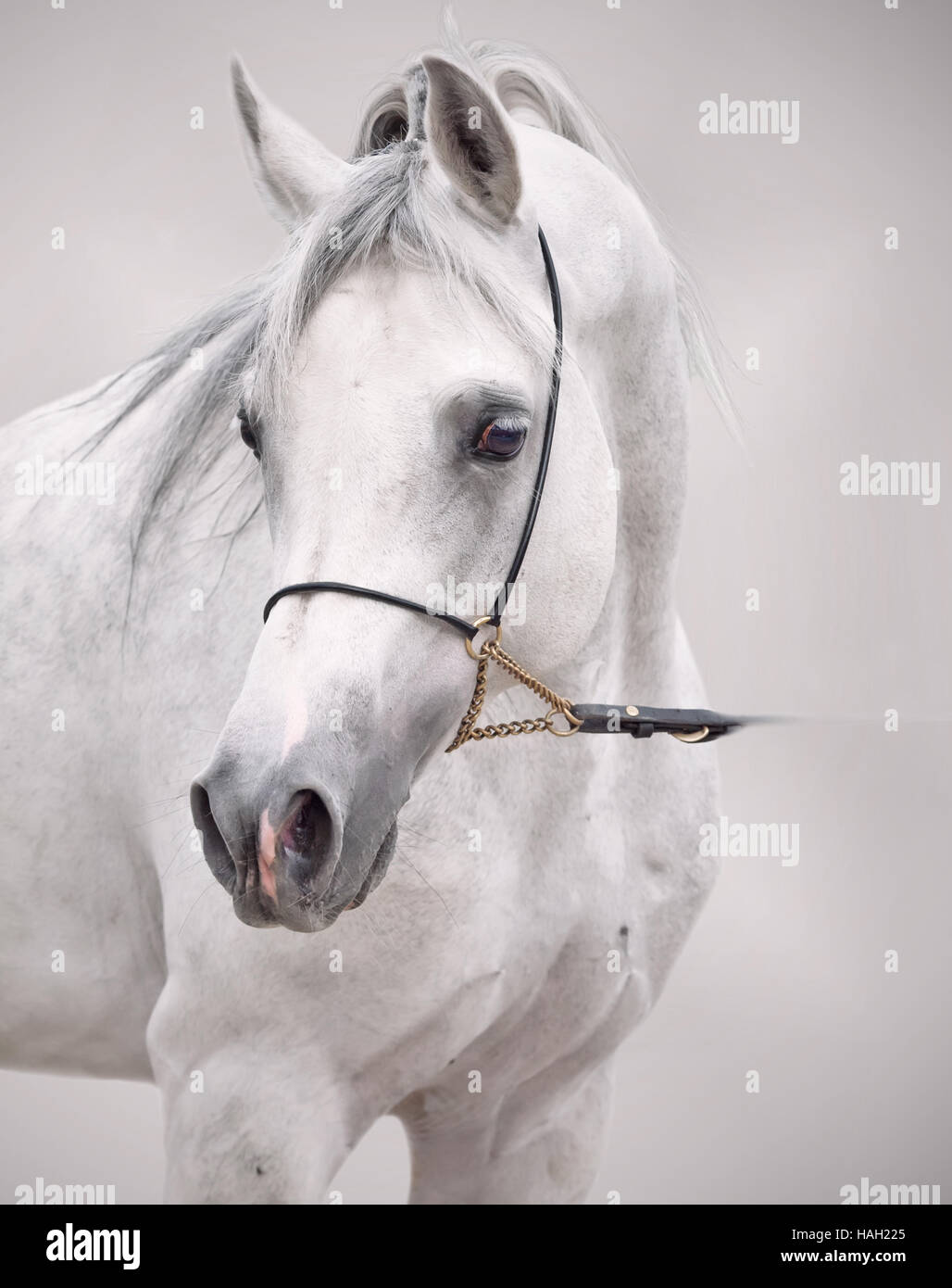 Retrato de Arabian Horse blanco en fondo gris. Imagen De Stock