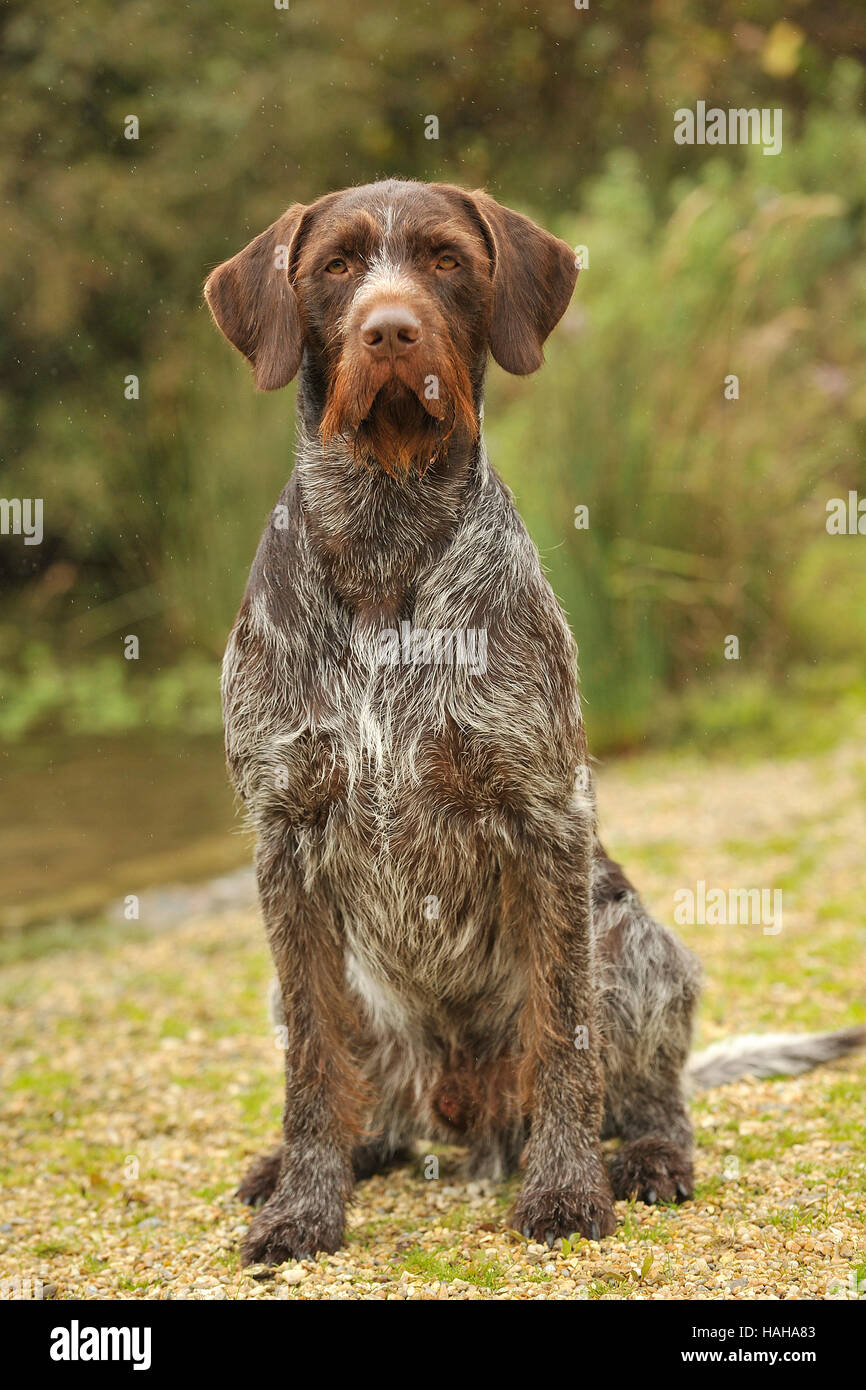 German wirehaired pointer perro Foto de stock