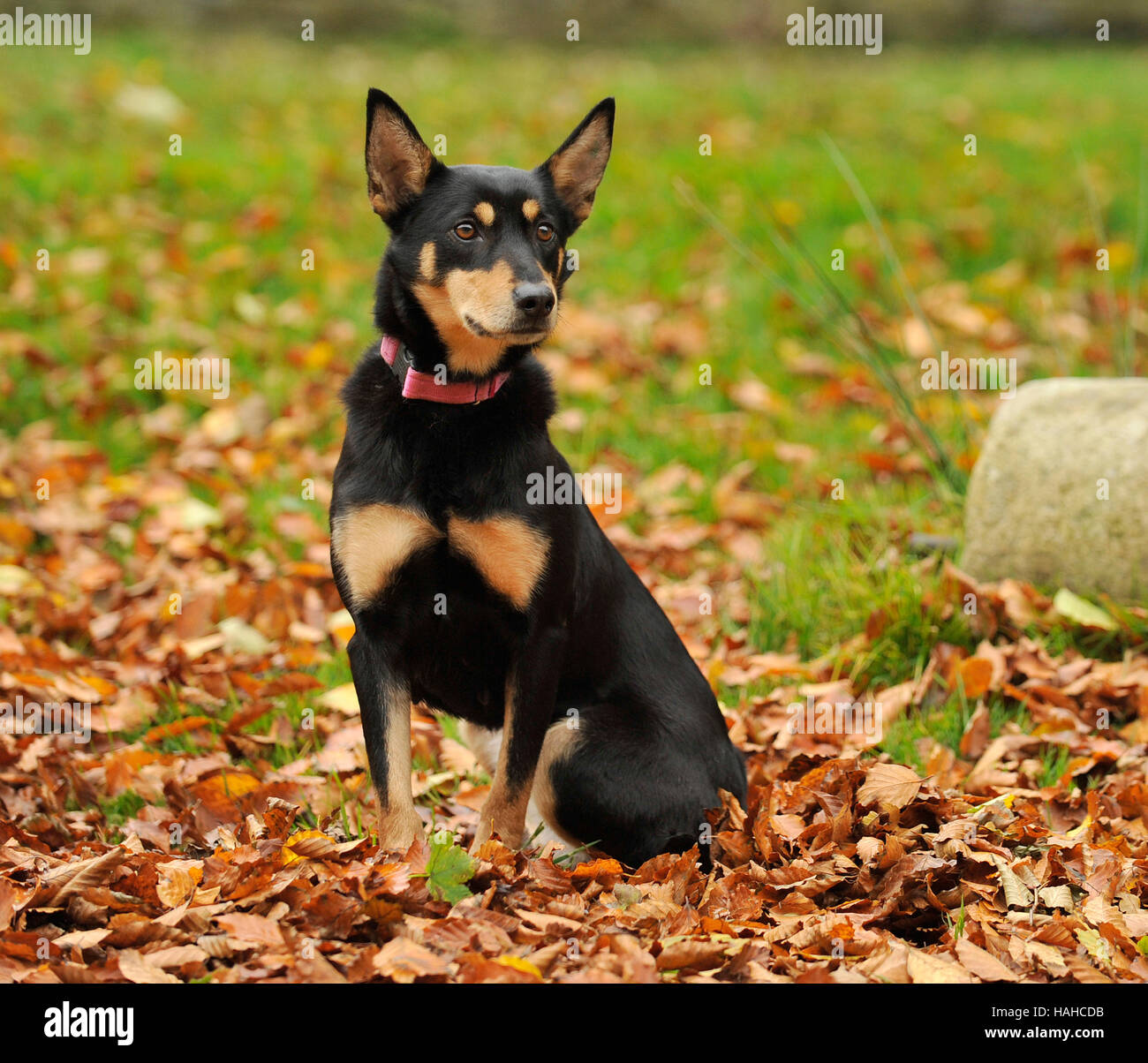Kelpie australiano fall uk Imagen De Stock