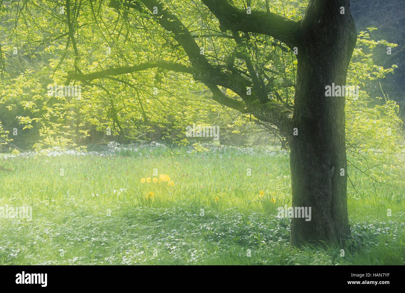 Árbol y narcisos / Baum und Osterglocken Imagen De Stock
