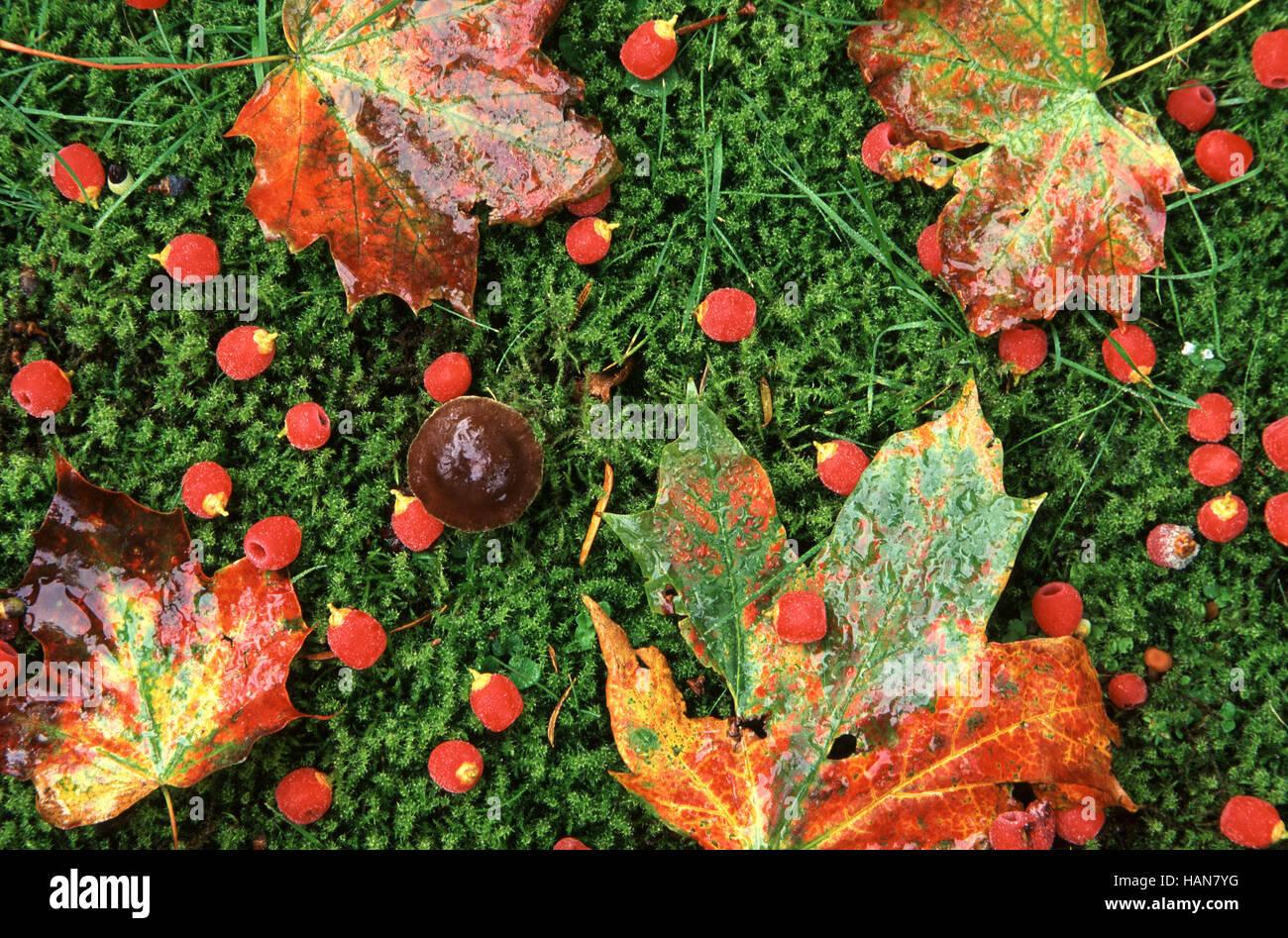 Blätter auf Moos / Colores de Otoño Imagen De Stock