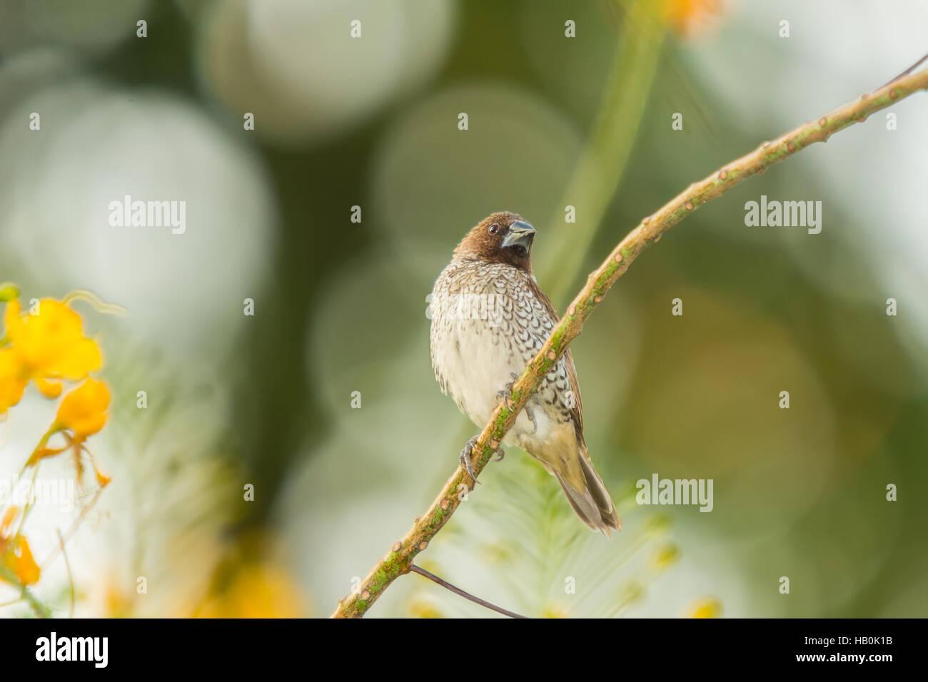Escamosa-breasted Munia Pájaro en el jardín Imagen De Stock