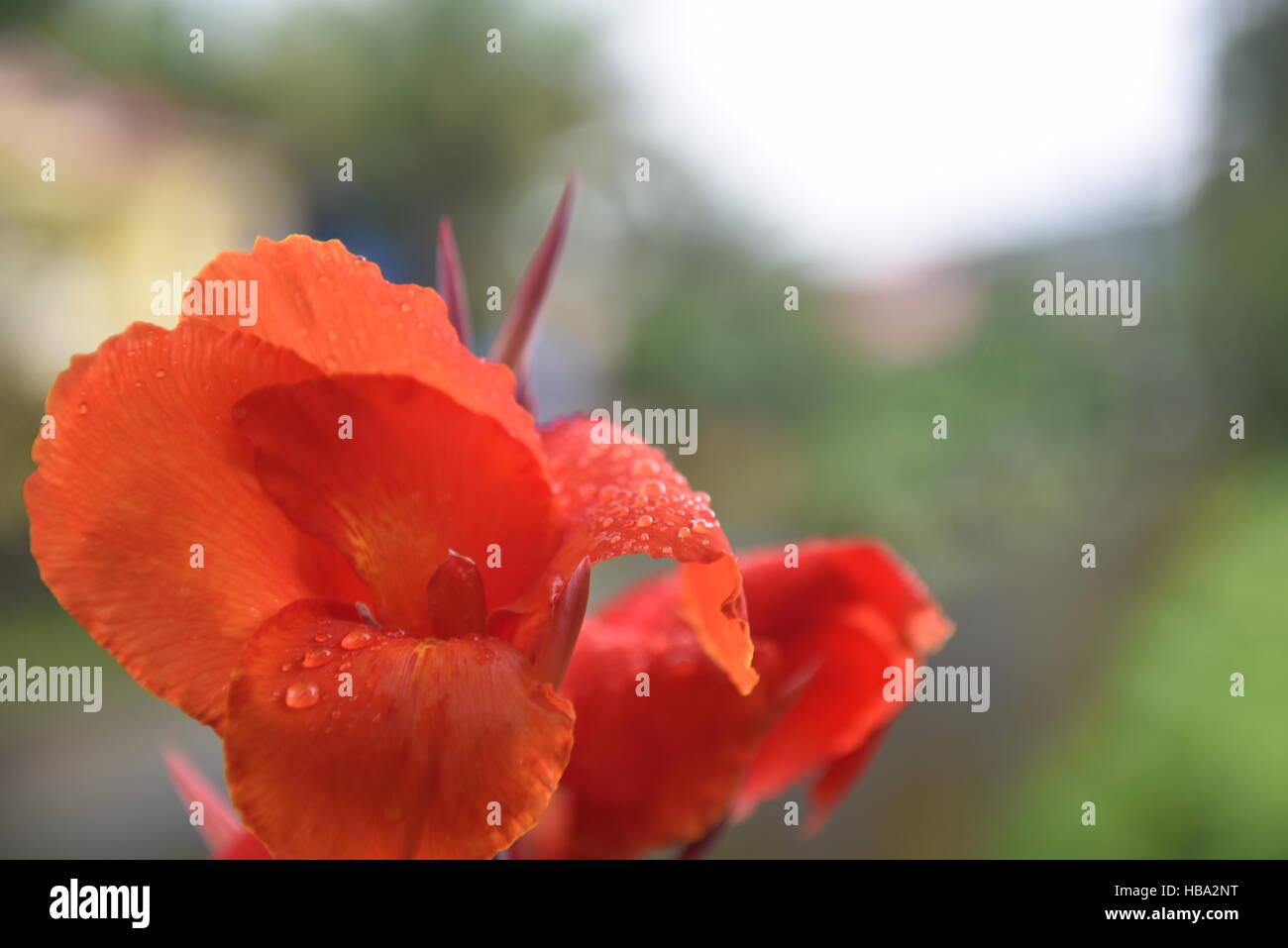 Canna lily, aunque no un verdadero lirio. Planta de flor indio grabaciones tomadas en los días lluviosos Foto de stock
