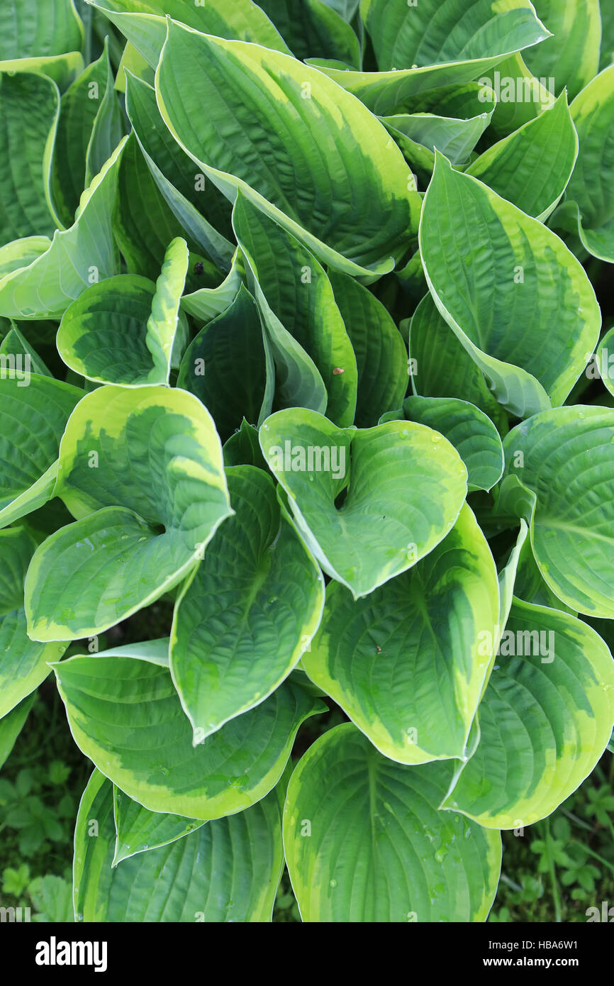 Lily de plátano, Hosta fortunei aureomarginata Foto de stock