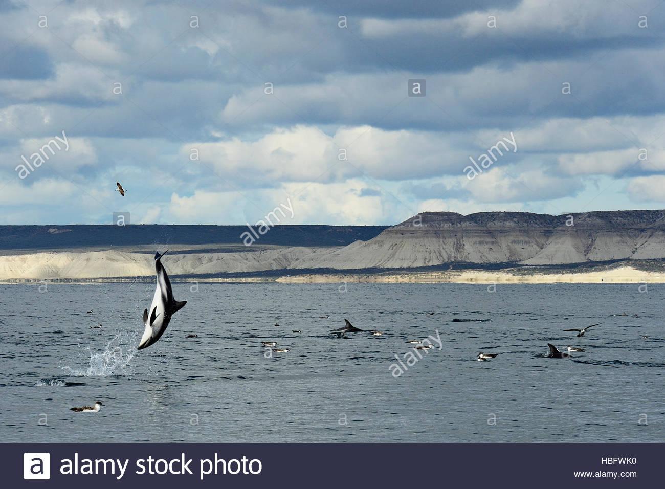 Un delfín oscuro catapultando a través del aire frente a las costas de la Patagonia puede estar enviando Imagen De Stock