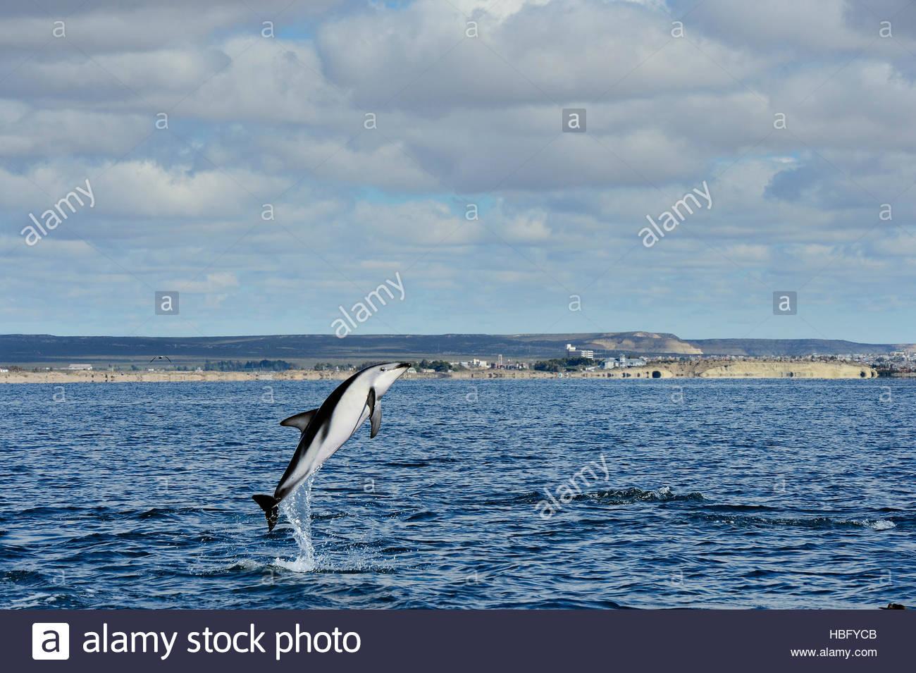Un delfín oscuro off Patagonia saltos desde el agua para peces gregarios y comunicar a otros delfines. Imagen De Stock