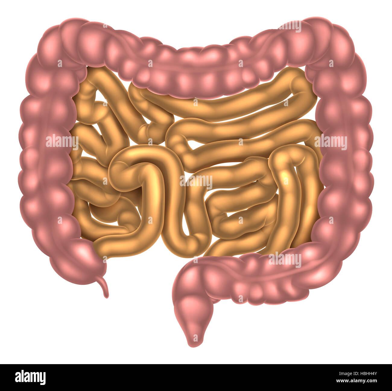 Una Ilustración De Los Intestinos Grueso Y Delgado Forma Parte Del Sistema Digestivo Fotografía De Stock Alamy