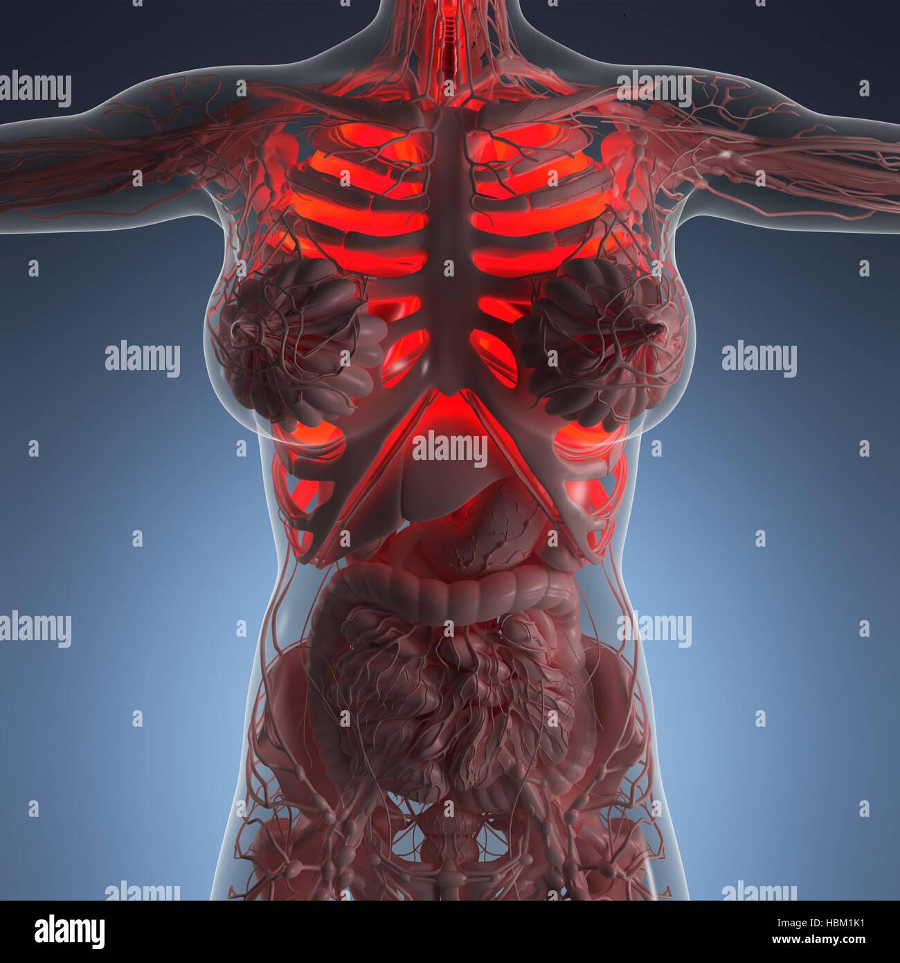 La ciencia anatomía del cuerpo de la mujer con bujías de pulmones ...