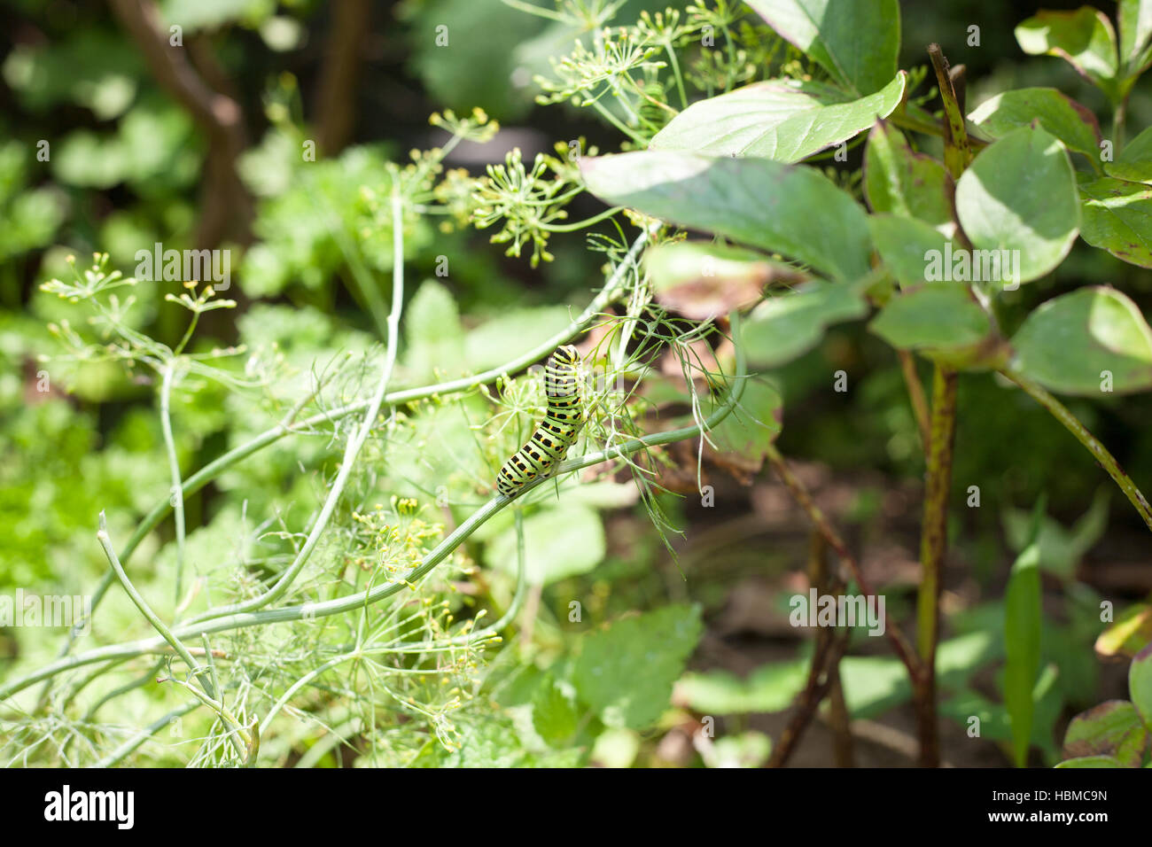Larva de Papilionoidea comiendo una hoja de eneldo Foto de stock