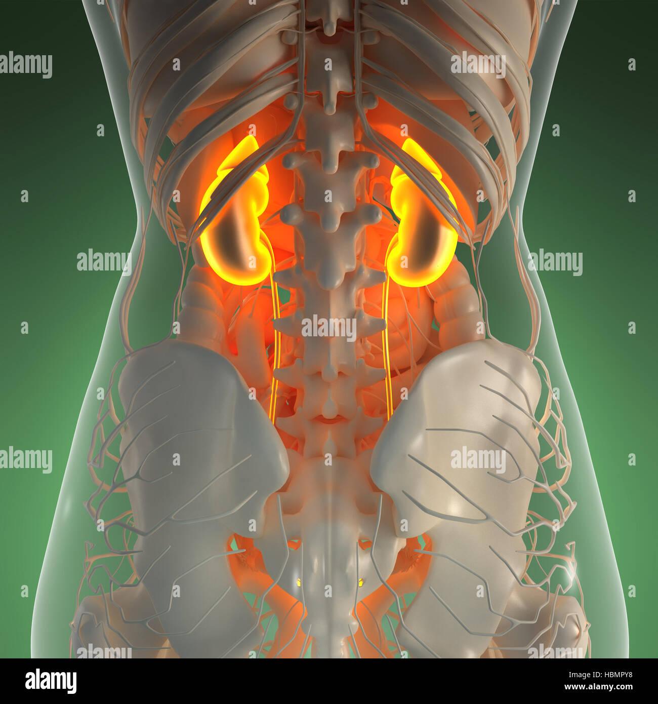 Kidney X Ray Imágenes De Stock & Kidney X Ray Fotos De Stock - Alamy